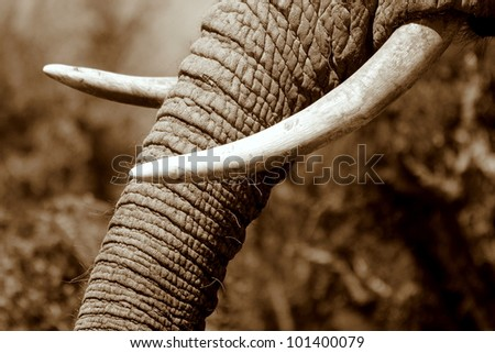 Monochrome close up of an African elephants tusks in Eastern Cape,South Africa