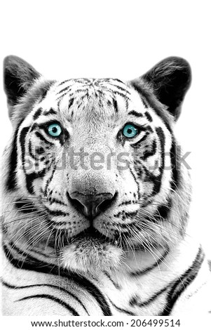 monochrome Cute white tiger on white background with clipping path #206499514