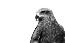 Monochrome Hawk