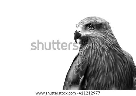Shutterstock Monochrome Hawk