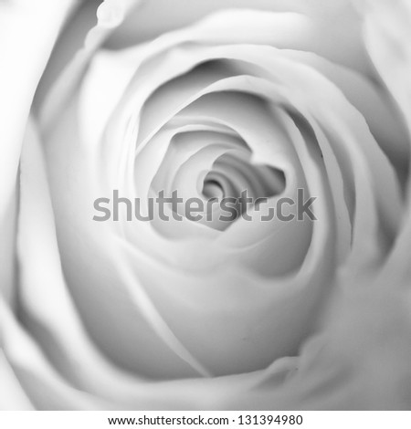 Monochrome macro close up shot of a Rose flower head