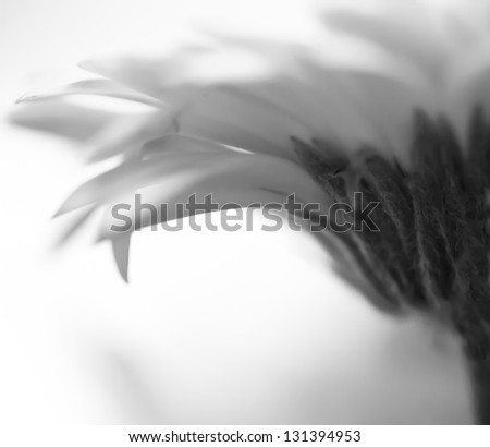 Monochrome macro close up shot of Gerbera daisy flower head