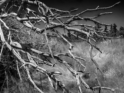 Monochrome photo of dead tree branches reaching out in a setting of fields and evergreen trees