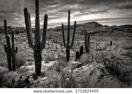 Monochrome photo of Saguaros, Prickly Pear, Palo Verde, and Brittlebush along the Apache Trail in the Superstition Mountains east of Phoenix