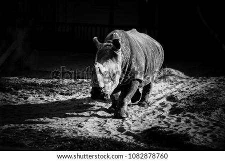 Monochrome portrait of a rhinoceros.