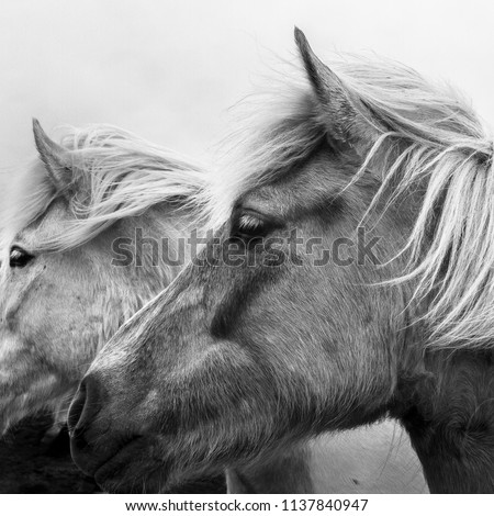 Monochrome portrait of two Icelandic ponies- close up black and white image of a rare Nordic breed of native horses