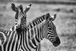 monochrome portrait photo of two zebras with necks crossed