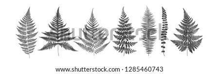 Monochrome set of fern leaves isolated on white background. Watercolor botanical illustration.
