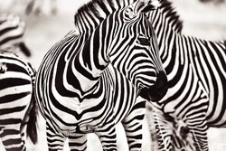 Monochrome shot of a Zebra side profile in Serengeti