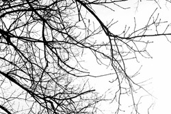 Monochrome tree branches isolated on the white background, no person