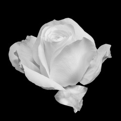 monochrome white rose blossom macro, black background, fine art still life of a single isolated bloom with detailed texture