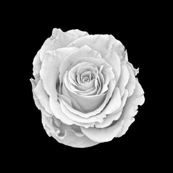 Monochrome white rose blossom macro on black background,fine art still life close-up of a single isolated bloom with detailed texture