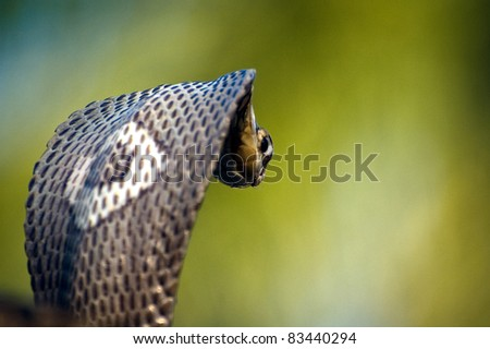 Monocle Cobra