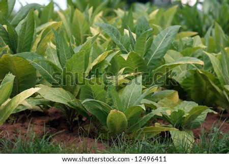 Monoculture Agriculture Scene. Green Plantation In Malawi. Stock ...