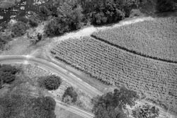Monotone aerial landscape pattern of a road and railway tracks beside rows of sugarcane