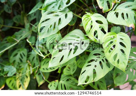 Monstera adansonii or swiss cheese plant green leaves