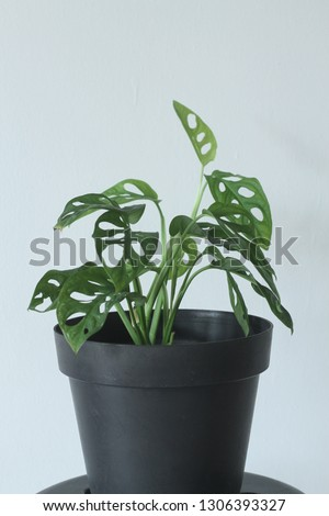 Monstera adansonii, the Adanson's monstera or five holes plant, is a species of flowering plant from Araceae family which is widespread across much of South America and Central America