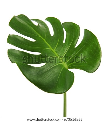 Monstera deliciosa leaf or Swiss cheese plant, isolated on white background, with clipping path #673516588