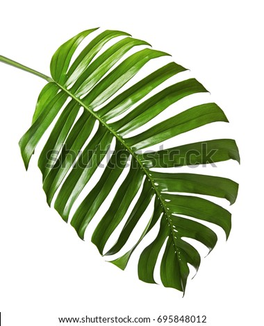 Monstera deliciosa leaf or Swiss cheese plant, isolated on white background, with clipping path #695848012