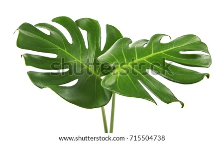 Monstera deliciosa leaf or Swiss cheese plant, isolated on white background, with clipping path #715504738
