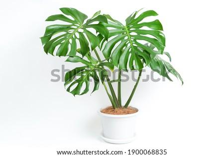Monstera Deliciosa plant in white platic pot with isolated white background Foto stock ©