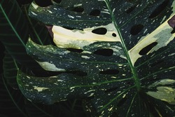 Monstera Deliciosa Thai Constellation variegated. Exotic rare cumulative plants of variegated leaves, yellowish and distinct parts on stems and petioles.