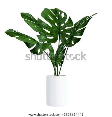 Monstera in a pot isolated on white background, Close up of tropical leaves or houseplant that grow indoor for decorative purpose. Stock foto ©