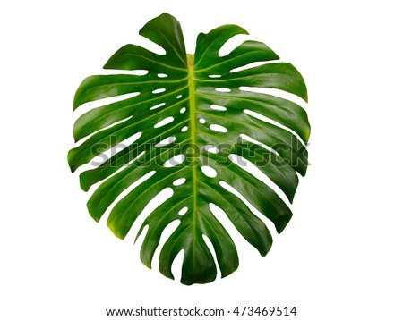 Monstera isolated on white background #473469514