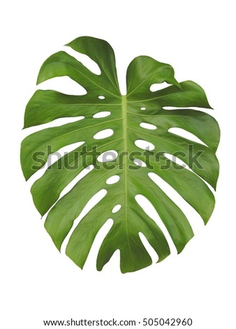Monstera large green jungle leaf isolated on white background #505042960