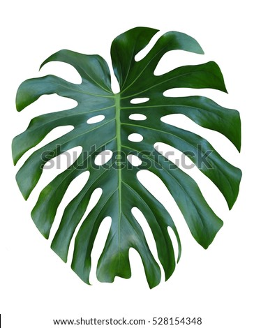 Monstera large leaf tropical jungle pattern, isolated on white background.