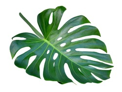 Monstera leaf and stem, trendy tropical jungle paradise foliage shape, isolated on white background, also called Cheese Plant, for unique hole pattern