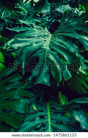Monstera leaf for background, The Monstera deliciosa is tropical evergreen vine, Sweet Spring concept, design with copy space for text.