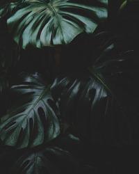 Monstera leaf on dark background.