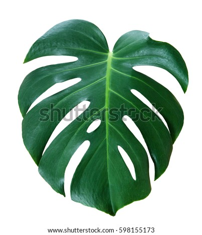 monstera leave