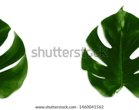 Monstera leaves Photo template with empty space Asymmetric background with two big leaves of monstera on a white backdrop