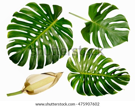 Monstera miltiple leaves with seed pod isolated on white background