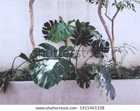 """Monstera,Monstera Deliciosa or""""Swiss Cheese Plant""""  on white background."""