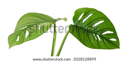Monstera obliqua leaves, Tropical foliage isolated on white background, with clipping path Foto stock ©