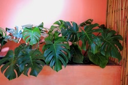 Monstera or Monstrous leaf green and pink background.