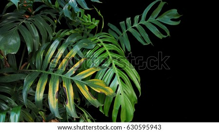 Monstera philodendron plant leaves growing in wild, the tropical forest plant, evergreen vine on black background.  - Shutterstock ID 630595943