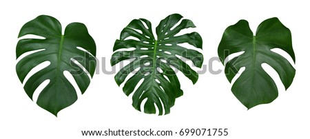 Monstera plant leaves, the tropical evergreen vine isolated on white background, clipping path included #699071755
