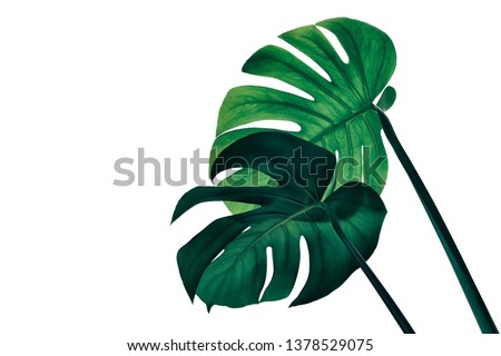 monstera plant, tropical palm leaf isolated on white background, striped big foliage in rain forest, clipping path included for design element