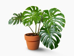 Monstera tree in pots isolated on white background with clipping path