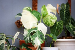 Monstera Variegata is very beautiful, a combination of green and white leaves