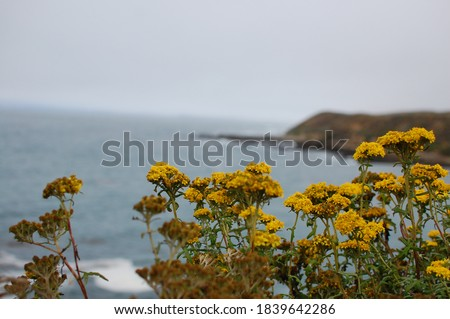 Montaña de Oro state park -- view of the ocean framed at bottom by yellow wildflowers.  The (yarrow) flowers are nicknamed 'Indian paintbrush'.   Foto stock ©