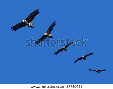 Montage of wedge-tailed eagles in full flight on blue sky with copy space - stock photo