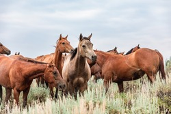 Montana American quarter horse herd at the watering hole and grazing on the plains in front of the Pryor Mountains