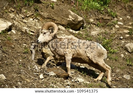 Montana Bighorn Sheep. Montana Wildlife Photo Collection.