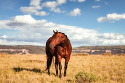 Montana Pryor mountain American Quarter Horse