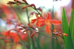 Montbretia Carmin Brilliant - Latin name - Crocosmia x crocosmiiflora Carmin Brilliant